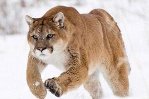 Chiến đấu với báo sư tử để bảo vệ vợ