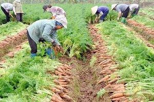 Công bố Văn bằng bảo hộ cho sản phẩm cà rốt Gia Bình