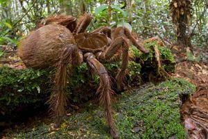 Những 'kẻ khổng lồ' trong thế giới côn trùng tồn tại trên Trái Đất