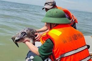 Thả cá thể rùa quý hiếm nặng 15kg về biển