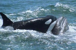Tại sao cá voi sát thủ không ăn thịt người?