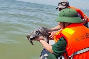 Rùa biển quý hiếm nặng 15 kg được giải cứu