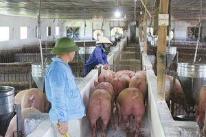 Giá thịt lợn 'nhảy múa': Bất lực?