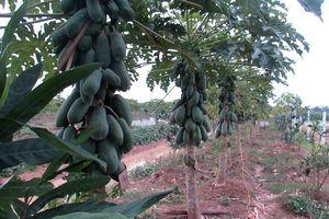 Huyện Thạch Thất: Giá trị sản xuất nông nghiệp đạt trên 52% kế hoạch