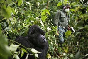 Dịch Covid-19 đe dọa loài khỉ đột châu Phi