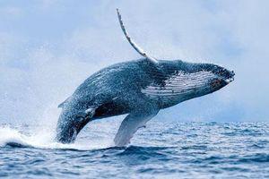 Cá voi lưng gù 'hồi sinh' sau khi gần tuyệt chủng