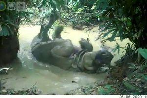 Tê giác Java thích thú đầm minh trong bùn