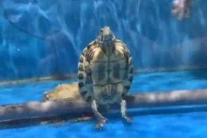 Kinh ngạc cảnh đại ca rùa 'ngồi' cực ngầu, thản nhiên nhìn đàn em bơi lội bên cạnh