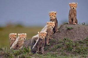 Những bức ảnh đẹp nhất về loài báo săn châu Phi sắp tuyệt chủng