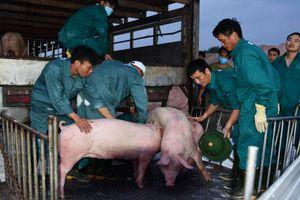 Vì sao lợn Thái Lan nhập về không thể 'hạ nhiệt' giá thịt lợn trong nước?