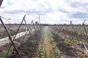 Sống động chuyển đổi cây trồng mùa khô hạn ở Sóc Trăng
