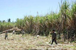 Bao tiêu mía cho nông dân từ 770 - 800 đồng/kg trong vụ mới