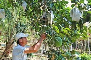 Lão nông Quảng Nam trồng bưởi da xanh, thu hàng trăm triệu mỗi năm