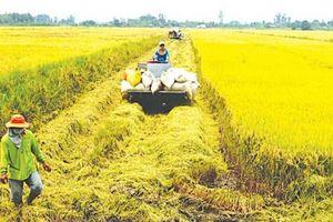 Ðể đảm bảo chất lượng lúa gạo
