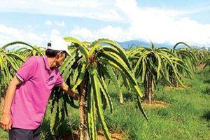Xuất hiện nhiều loại sâu bệnh trên lúa và thanh long ở Bình Thuận