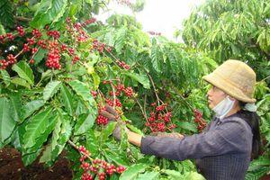 Sản xuất cà phê, hồ tiêu bền vững ở Tây Nguyên bằng cách nào?