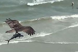 Chim khổng lồ dùng móng vuốt bắt cá mập đại dương