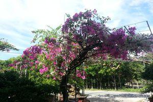 Khấm khá nhờ trồng hoa giấy