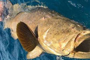 Cá mú siêu to khổng lồ cắn câu, kéo luôn cần thủ xuống biển