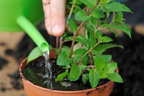 Mách chị em cách đơn giản trồng 5 loại cây gia vị đặc trưng trong bữa ăn người Việt