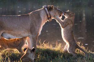 Thích thú khoảnh khắc sư tử con nhảy chồm lên hôn mũi mẹ