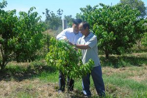 Ninh Thuận: Hỗ trợ cây giống mãng cầu Thái cho nông dân