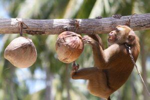 Công ty dừa Thái Lan bị tố bóc lột khỉ, bắt hái cả nghìn quả dừa mỗi ngày
