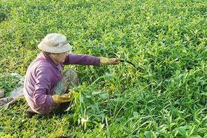 Phú Yên: Rau xanh tăng giá, hút hàng