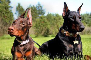Top 8 loài chó thông minh nhất thế giới