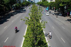 Hà Nội: Phong lá đỏ tươi tốt sau nhiều năm chờ đợi