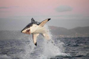 Bí ẩn hàng trăm con cá mập trắng của Nam Phi biến mất