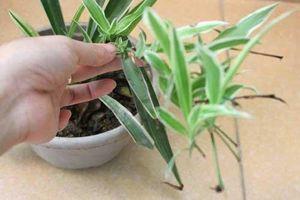 Mẹ trồng cây dây nhện làm cảnh mà sạch nhà