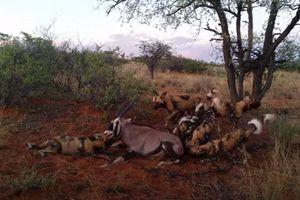 CLIP: Đàn chó hoang giết chết linh dương sừng thẳng Ả Rập đầy tàn bạo