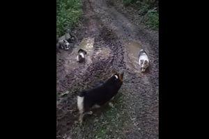 Khoảnh khắc những chú chó hồn nhiên chơi đùa trong vũng bùn