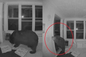 Gấu biết mở cửa đột nhập vào nhà dân để ăn pizza