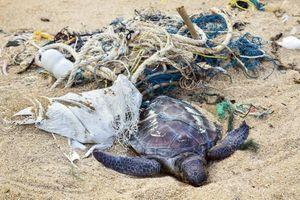 Rác thải nhựa giết chết hơn 20 con rùa ở Bangladesh