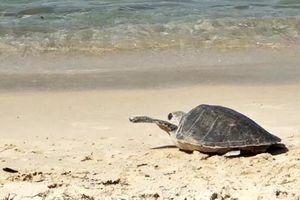 Thả một cá thể rùa trở lại biển