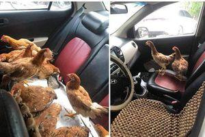 Cả đàn gà thoải mái ngồi trong ô tô điều hòa mát lạnh khiến người đi đường 'tròn mắt' ngạc nhiên
