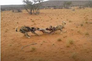 CLIP: Linh dương con chết thảm khi chạm mặt chó hoang