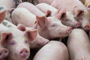 Giá lợn hơi Thái Lan nhập khẩu chênh rất ít với giá lợn nuôi trong nước