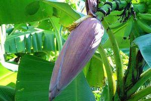 Hoa chuối: Thần dược cho sức khỏe mà ai cũng thờ ơ
