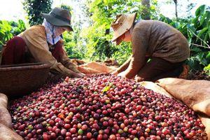 Giá nông sản 15/7: Cà phê đảo chiều giảm, giá tiêu tăng nhẹ