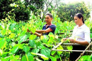 Tin NN Tây Bắc: Lâm Bình phát triển rau đặc sản