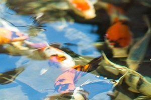 Ngắm nhìn đàn cá Koi bạc tỷ của đại gia Hà Nội