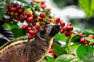 Giá cà phê hôm nay ngày 16/7: Toàn miền tăng 200 đồng/kg