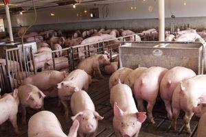 Chăn nuôi Phú Sơn ước tính có lãi 53 tỷ đồng trong 6 tháng đầu năm
