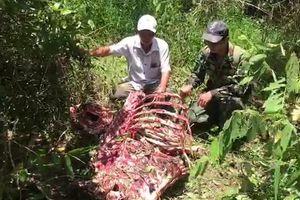 Nổ súng truy bắt lâm tặc giết bò tót trong rừng Quốc gia Cát Tiên