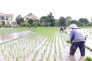 Tập trung chăm sóc và bảo vệ lúa mùa