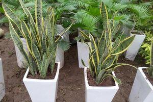 3 loại cây trồng trong nhà có ý nghĩa phong thủy cực tốt, khi ra hoa càng vượng vận