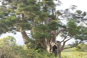Bí mật của loài cây có tiền tỷ trong tay chưa chắc được sở hữu